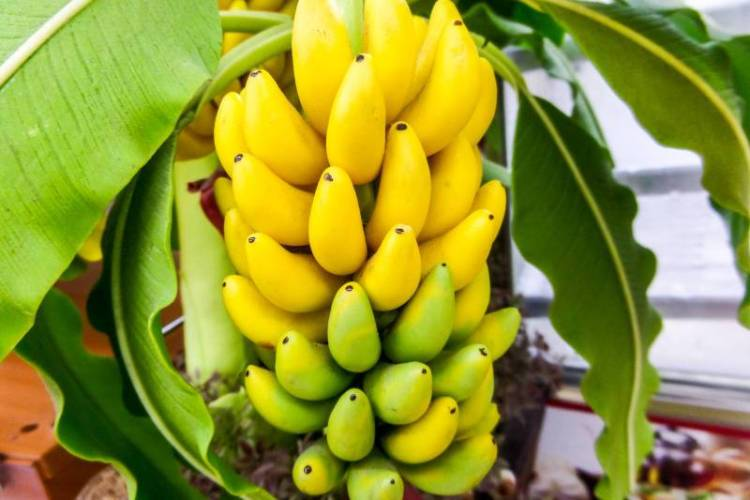The morning banana diet review